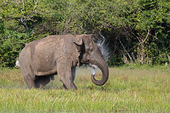 20130314-_NG_0055 (shirl6900) Tags: elephasmaximus asianorasiaticelephant