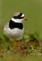 Ringed Plover (Alex Berryman) Tags: hampshire fleet plover ringed wader
