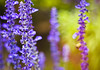 P u r p l e (A Great Capture) Tags: flowers summer toronto ontario canada flower green fleur purple blossoms summertime blooms on 2011 ald ash2276 ashleyduffus