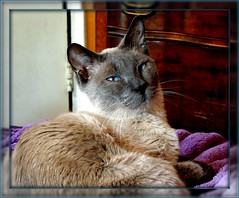 Mr.T (zoomzoomz mom) Tags: blue cat eyes siamese bluepoint kissablekat bestofcats kittyschoice catmoments