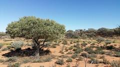 gidgee (ClareSnow) Tags: winter cue australia outback acacia arid breakaway floodplain gidgee mulgacountry acaciapruinocarpa blackgidgee mulgascrub