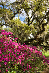 South Carolina Lowcountry Spring Garden Scenic (Mark VanDyke Photography) Tags: flowers tree sc garden landscape outside outdoors spring seasonal southcarolina charleston liveoak spanishmoss carolina bloom flowering azalea lowcountry magnoliaplantation romanticgarden