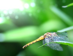 The wings with droplets seem to be a wedding veil (Tomo M) Tags: dragonfly wing droplets light green bokeh nature