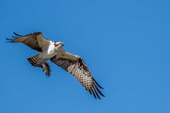 Osprey in Flight With Fish (Bill Varney) Tags: osprey fish flying bif avian wildlife outdoor blue sky raptor bird of prey florida billvarney