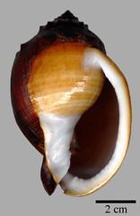 MOL_ 1791_P_coronadoi_2277_01_340x524.gif (MaKuriwa) Tags: mollusca gastropoda mesogastropoda cassidae phalium