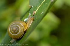 Land Snail (dbifulco) Tags: darkmoonpreserve extensiontube large milkweed nature newjersey nikkor105f28 snail wildlife