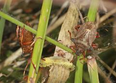 Sharing Their Grub (Prank F) Tags: cambourne wildlifetrust cambsuk wildlife nature insect macro closeup bug shieldbug instar nymph spiked picromerusbidens