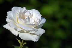 Glck ist, das zu mgen, was man muss, und das zu drfen, was man mag. (Knarfs1) Tags: blume blte flower fleur garden garten summer rose white weiss bokeh