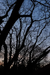 Wit Stinkhout (jolom) Tags: nature trees sillouette
