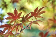 Changing color (JPShen) Tags: maple changing color bokeh