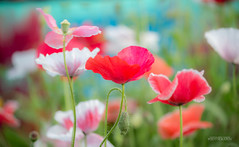 C O L O R S (Satyajeet Sahu) Tags: flowers poppy colors nature bokeh canoneos600d flowershow bangalore lalbagh macro 55250mm