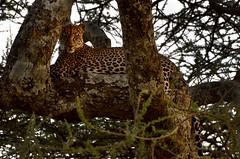 PWS_6781 (paulshaffner) Tags: dorobo safaris dorobosafaris serengeti safari studyabroad education abroad tanzania penn state pennstate biology pennstatebiology