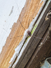 Granddaddy (Hermit Haunt) Tags: granddaddy longlegs macro spider