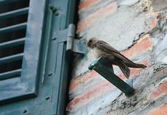 Eurasian Crag Martin (Ptyonoprogne rupestris) (mebeagan) Tags: cragmartin swallow martin bird birds birding tuscany italy nature outdoors wildlife ptyonoprognerupestris eurasiancragmartin