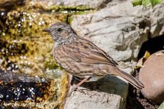 Dunnock (Linda Martin Photography) Tags: dorset backgarden wildlife waterfall nature bathing prunellamodularis dunnock canon5dmarklll uk birds coth alittlebeauty ngc