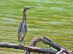 Green Heron (My Long Lens) Tags: greenheron green heron waterbird water pennsylvania bird birdwatcher lake