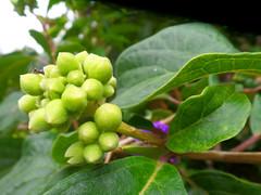 Seed pods (jo.elphick) Tags: milton nsw australia tree seeds green