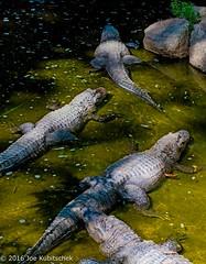 Alligator Pit (Kuby!) Tags: kubitschek kuby july 2009 colorado springs co cheyenne mountain mtn zoo cmz park zoological australian feature alligator pit
