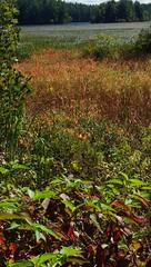 Summer Drought, Early Fall - IMGP6349 (catchesthelight) Tags: nhfallautumncolorsfallfoliagegrassesmarshkimballpondconcord nh