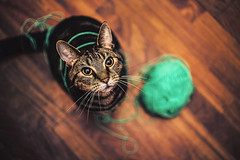 Innocent huh? (felicefelines) Tags: tommie cat pet animal wool 50mm 2016