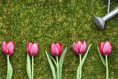 Cómo conseguir que los clientes compren una y otra vez en un negocio online (Tus-anuncios-mexico) Tags: featured image giesskanne pinkfarben giessen flora pflanzen pflanzenwelt blumen blüte liliaceaetulipa tulipa tulpen frühjahr lenz ineinerreihe wachstum seiteanseite wiederholen panorama gieskanne anordnung pink giesen pflanze blume tulpe frühling reihe gras wachsen nebeneinander wiederholung textfreiraum frische blte frhjahr giekanne gieen frhling germany