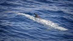 Grampus griseus (AlexandreRoux01) Tags: grampus griseus dauphin de risso rissos dolphin