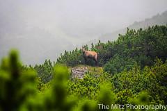 IMG_3436 (The Mitz Photography) Tags: gams grünersee hochschwab mariazell maryclan murmerl mädels nebel pilgern sommer steinbock wandern