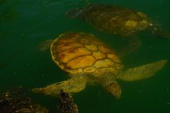 Sea Turtles (chumlee10) Tags: grandcayman island cruise caribbean turtle turtlefarm cruise1