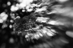 Catch Me If I Fall (belleshaw) Tags: blackandwhite oakglen losriosrancho nature lensbaby composer leaf evergreen fallen needles blur tree branch plant detail bokeh