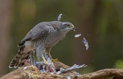 Female hawk (fire111) Tags: female hawk havik bird prey roofvogel duif pluimen feathers kill birding wild