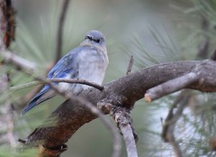 Mountain Bluebird (Adam Dhalla) Tags: currucoides sialia sszz mountain bluebird