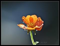 geum raindrops (Kazooze) Tags: orange flower macro nature rain garden raindrops geum srj diamondclassphotographer flickrdiamond 2013