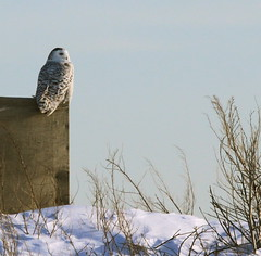 I Happen to Like it Here. (Leslie Abram) Tags: winter blackandwhite white snow ontario canada bird canon wildlife owl snowyowl presquilepark