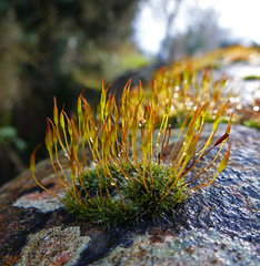 Wall Screw Moss (Messent) Tags: macro poetry raindrops tanka ardington landscapedetail poetryandpicturesinternational tortulamuralis wallscrewmoss poetryforall
