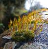 Wall Screw Moss (Messent) Tags: macro poetry raindrops tanka ardington landscapedetail poetryandpicturesinternational tortulamuralis wallscrewmoss poetryforall