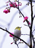 F_DSC1967-綠繡眼-Zosterops japonica-Japanese White-eye-櫻花-Cherry Blossom-羽-Feather-翼-Wings-台北市-Taipei City-台灣-Taiwan-中華民國-Rep of China-Nikon D800E-Nikkor 70-200mm-May Lee 廖藹淳 (May-margy) Tags: wings feather taiwan cherryblossom 台灣 japanesewhiteeye taipeicity 櫻花 台北市 中華民國 羽 翼 zosteropsjaponica 綠繡眼 nikkor70200mm repofchina maymargy nikond800e maylee廖藹淳