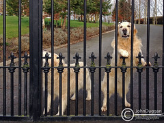 No Entry . (johndugganfoto) Tags: dogs canine k9 guarddogs johndugganfoto ei8frb mygearandme