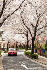 Sakura Tunnel / Tokyo, Japan (yameme) Tags: travel flowers nature japan canon eos tokyo  sakura shinagawa cherryblossoms    meguro    nishikoyama 24105mmlis   5dmarkii 5d2
