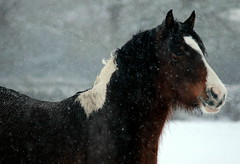 in the snow. (an outdoor girl) Tags: winter horse white snow colour nature animal natural background pony foreground