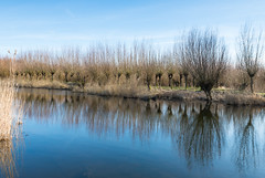 Pollard willows reflected - Weerspiegelde knotwilgen (RuudMorijn-NL) Tags: park blue autumn trees winter sky lake reflection tree green fall nature water netherlands beauty dutch silhouette rural river reeds season landscape outdoors mirror countryside pond perfect colorful europe branch quiet view riverside natural outdoor bare horizon smooth scenic bank surface row clear national silence environment serene picturesque idyllic kale riet willows brabant tranquil biesbosch takken pollard noordbrabant kaal weerspiegeling salix reflectie wilgen nationaal knotwilgen brabantse wateroppervlak spiegelglad