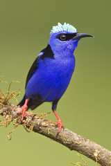 There's No Need to Fear - Honeycreeper is Here! (Jeff Dyck) Tags: birds costarica tanager redlegged jeffdyck redleggedhoneycreeper cyanerpescyaneus honeycreeper specanimal avianexcellence coth5 birdperfect