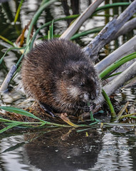 Nom (Eve'sNature) Tags: nature animals wildlife marsh muskrat horicon
