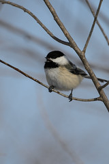 Chickadee Sings_42422.jpg (Mully410 * Images) Tags: bird birds singing birding chickadee birdwatching blackcappedchickadee birder tcaap ahats burdr ardenhillsarmytrainingsite