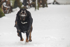Luna im Schnee 2.jpg (m.budde) Tags: schnee dog jump running olympus run luna hund rennen laufen spingen epl1 mygearandme mygearandmepremium