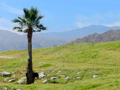 In Need of a New Hiding Spot (TheJudge310) Tags: mountains green grass landscape ostrich palmtree 2012 palmdesert livingdesert nikoncoolpixp500