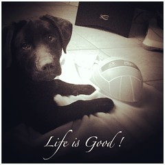 Holly ! (amandine.boillereau.1) Tags: dog animal labrador doggy chocolat chauny