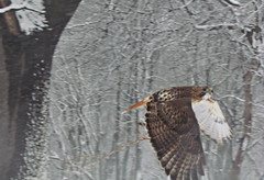 I caught him flying back up to his perch (debstromquist) Tags: winter snow birds illinois wildlife il hawks lyons redtailedhawk snowstorms flyingbirds grove1 cookcoforestpreserves saltcreekdivision ottawatrailwoodssouth