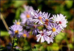 Purple Wildflowers - Canadian Rockies (greenthumb_38) Tags: canada reunion rockies canadian alberta 2012 canadianrockies jeffreybass august2012 moseankoreunion