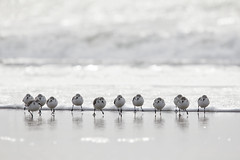 The Dozen (Lisa Franceski) Tags: ocean beach nature wildlife calidris large february sandpipers sanderling naturalhabitat calidrisalba sigma120400mm canont2i lisafranceski thedozen longislandshorebirds