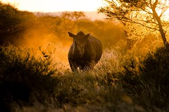 Rhino at Sunset (Craig Pitchers) Tags: sunset southafrica rhino madikwe